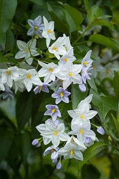 Potato vine, potato climber or jasmine nightshade (Solanum laxum)...