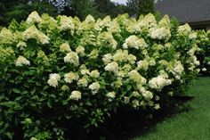 hydrangeas ood foliage and flowers requires good light.  It is so easy to see in this picture that the heaviest bloom is occurring where there is the most exposure to light.