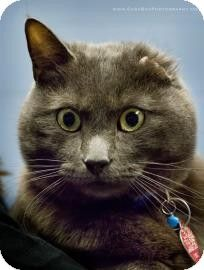 Lowell, MA - Domestic Shorthair. Meet Chuck a Cat for Adoption.
