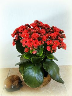 Kalanchoe a tlustice Plants, Flowers, Garden