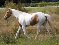 Same Horse as Pictured before :3 I AM IN LOVE!!!!!! I LOVE palomino Paints and I love Mares!!!! :3 she's perfect!