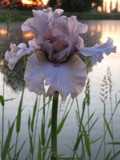 Photo of Tall Bearded Iris (Iris 'Dancing Ghost') uploaded by barashka