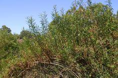 Image result for Baccharis salicifolia
