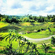 "Beautiful #ricefields on the island of #Bali in ""Tabanan regency."