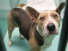 AT RISK TO BE DESTROYED 6/23/18 Cookie is at-risk of euthanasia and needs placement. Please consider opening your home today! Hello, my name is Cookie. My animal id is #30591. I am a desexed male tri color dog at the Brooklyn Animal Care Center. The shelter thinks I am about 4 years 1 weeks old. I came into the shelter as a owner surrender on 07-Jun-2018, with the surrender reason stated as animal behaviour - aggressive to other animals. This pet needs a new hope rescue to help you adopt .