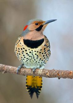 Northern Flicker (Yellow shafted) on a tree limb by Lee Hunter