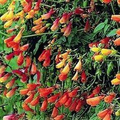 Chilean Glory Vine 10 Seeds (Eccremocarpus scaber) Evergreen Climbers, Plants, Garden, Indoor Garden, Seeds, Evergreen Plants, Perennials, Landscape, Waterwise Garden