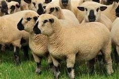 Hampshire Down sheep
