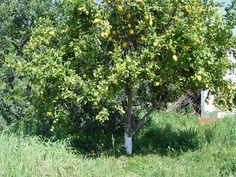limoeiro (Citrus limonum)
