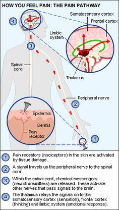 pain pathway: pain receptor to brain Brain Anatomy, Human Anatomy And Physiology, Natural Remedies For Arthritis, Autoimmune Arthritis, Rheumatoid Arthritis, Chronic Pain Quotes, Complex Regional Pain Syndrome, Science, Chronic Pain