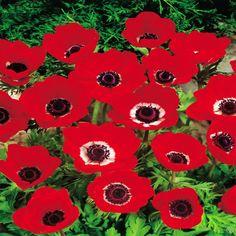 Anemone coronaria Hollandia - 20 flower bulbs buy online order now