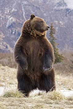 Grizzly Alert & Standing (by AlaskaFreezeFrame)