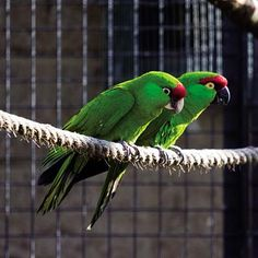 History and Conservation of Thick-billed parrots, Once Indigenous to the American Southwest: