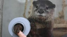 In this aquarium you can shake hands with otters (Happy Holidays!) <-how cute is this otter? So cute.