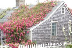 precioso el rosal por el tejado