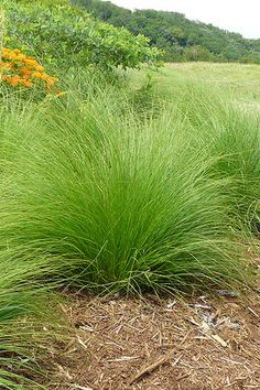 Prairie Dropseed (Sporobolus heterolepis). The showiest prairie grass for gardens, Prairie Dropseed's magnificent fountain of fine textured, emerald-green leaves adds a touch of elegance to any planting. Considered by many to be the most handsome of the prairie grasses, it makes a well-defined and distinctive border when planted 18 to 24 inches apart. Plains Indians ground the seed to make a tasty flour. Plant seed in fall or early spring for best results.