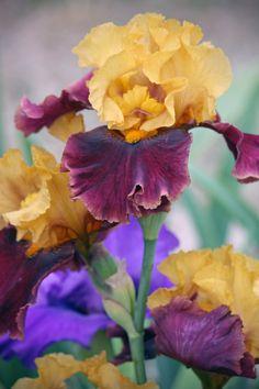 Multi-Colored Iris