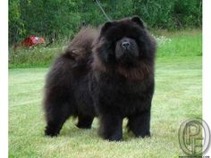 Black Chao Chao dog for sale in Mumbai, Maharashtra, India in Pet Animals And Accessories category under budget Check with seller Black Chow Chow, Chow Chow Dogs, Chow Puppies For Sale, Dogs For Sale, Chao Chao Dog, Short Faced Bear, Protective Dogs, Pet 1, Dog Information