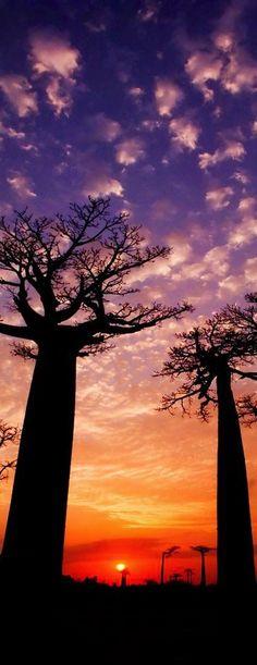 Nature - Baobab trees in Madagascar, Africa.