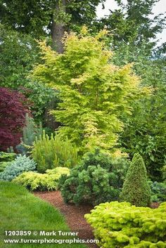 1203859 Japanese Maple, dwarf conifers at edge of lawn [Acer palmatum cv.; Pinus cv.]. Jim Swift, Bellingham, WA. © Mark Turner