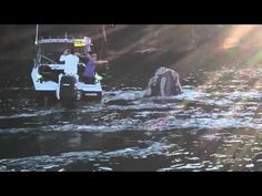 Removing fishingline from Southern Right Whale at Roseville