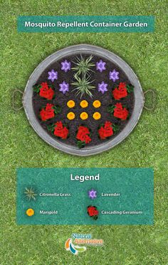 A plan to create your own mosquito repellent container garden using plants such…