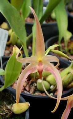 Bulbophyllum Jersey