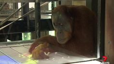 First ever primate/human interaction with computers. Using for extra credit opportunity to discuss role of zoos and the ethics of using computer technology with primates.