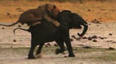 ▶ Lion Attacks Elephant: Brutal Kill Caught On Camera - Video Dailymotion