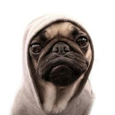 thug pug// I think pugs are the cutest/ugliest things. Pugs make me smile Cute Pugs, Cute Puppies, Dogs And Puppies, Doggies, Funny Pugs, Pointer Puppies, Cutest Dogs, Pug Love, I Love Dogs