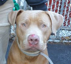 TO BE DESTROYED - 12/12/13  Manhattan Center -P   My name is MALIBU. My Animal ID # is A0986570.  I am a male brown am pit bull ter mix. The shelter thinks I am about 2 YEARS    I came in the shelter as a STRAY on 12/04/2013