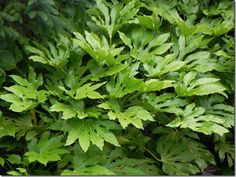 Big Leaves: Bold Foliage Do you love large leaves and bold foliage? Andy McIndoe lists some of the greatest large leaved #garden plants for great #foliage interest and colour