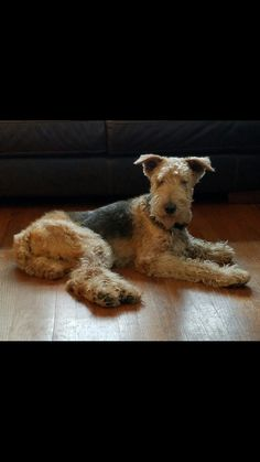 Airedale Terrier Zoe Dog 15.5 years old RIP