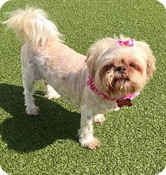 MISS CLOUD - 4/10/17 Whitestone, NY - Shih Tzu Mix. Meet Miss Cloud, a dog for adoption. http://www.adoptapet.com/pet/17924019-whitestone-new-york-shih-tzu-mix