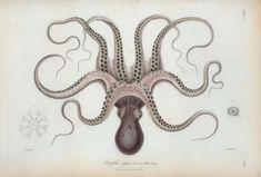 Vintage Biology Illustrations - Octopus #biology #octopus