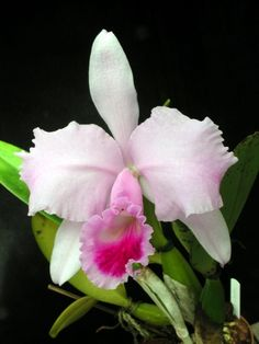 Cattleya mossiae. Commonly known as 'Easter orchid'.