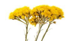 L'huile essentielle d'hélichryse, communément appeléeImmortelle, évoque immédiatement la vie éternelle, la force vitale qui habite les montagnes de Corse où elle pousse encore à l'état sauvage dans le respect des principes de développement durable. Cette plante aux petites fleurs jaunes, faisant partie de la famille des astéracées, est décrite par les botanistes comme la plus …