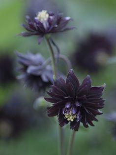 Aquilegia 'Black Barlow'  Stunning very double, purple-black blooms. Very uniform plants, splendid for border or cut flower use. 3ft.