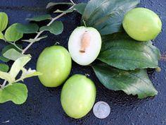 Tropical fruit trees, akee, all spice, ambarella, annona, avocado, cherry, bay leaf, black pepper, caimito, canistel, carambola, cashew, coconut, coffee, curry leaf, grumichama, guava, jaboticaba, jakfruit, longan, loquat, lychee, macadamia, malay apple,
