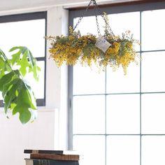 黄色い花がかわいいミモザ。セリアのチェーンを使って、簡単におしゃれなフライングリースの作り方をご紹介します。フライングリースでミモザを飾ると、そのままドライフラワーにもなりますよ。