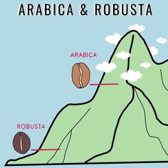 What is the difference between Arabica and Robusta coffee beans?   1️⃣ ARABICA First origin: Ethiopia. Grow temperature: 15°C-25°C Grow altitude: 900m-2000m above sea level (ON MOUNTAIN). Taste: sweet, aromatic, bright. Pest infestation: low resistance. Caffeine content: 0.8%-1.5% Consumption: cafes, instant coffee, restaurants.. - learn more in the link about Robusta as well. ⠀⠀⠀⠀⠀⠀⠀⠀⠀⠀⠀⠀⠀⠀⠀⠀⠀⠀⠀ ⠀ ⠀⠀⠀⠀⠀⠀⠀⠀⠀⠀⠀ 📹 Made By⤵👉 👉 @sinnedhew    Survey Questions, Trivia Questions, Arabica Robusta, Instant Coffee, Coffee Beans, Coffee Restaurants, Sea Level, Ethiopia, Learning