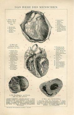 1894 Human Heart Anatomy Antique Engraving Print | eBay