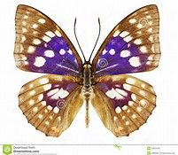 Image result for Violet Butterfly Swallowtail