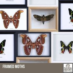 Framed Moths - Shop the collection, website updated daily, click here now www.NaturalHistoryDirect.com