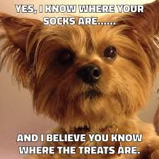 Image result for yorkie christmas thank you