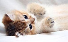 Scarica sfondi piccolo gattino, letto, beige, gatto, animali, animali domestici