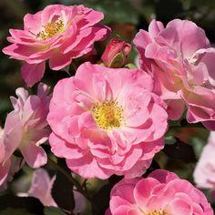 Jane Seymour Lavender-pink Floribunda Rose
