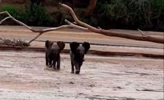 2 Lost Baby Elephants Race to Find Their Mothers … and Their Reunion is Beautiful (VIDEO)