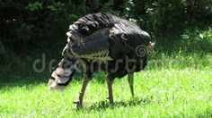 A wild turkey eating bugs and grass in the Black Hills of South Dakota.