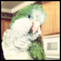 Karma our Quaker Parrot